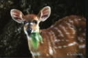 antilope.png